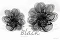 Asian Black Transparant 250 gram